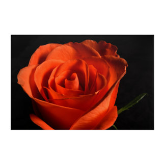 Beautiful Red Rose on black Background Acrylic Print