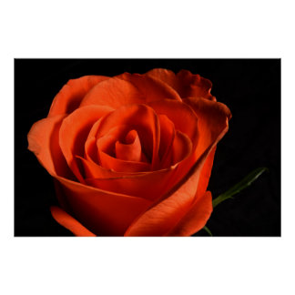 Beautiful Red Rose on black Background Poster