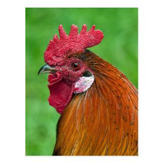 Beautiful rooster portrait postcard