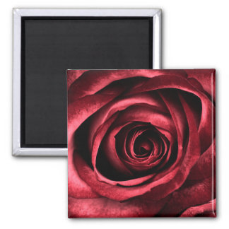 Beautiful rose blossom square magnet