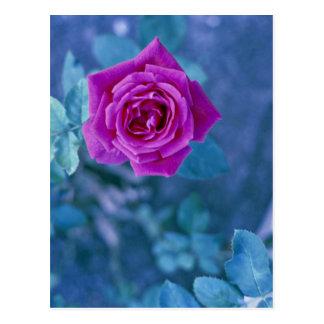 Beautiful rose flower postcard