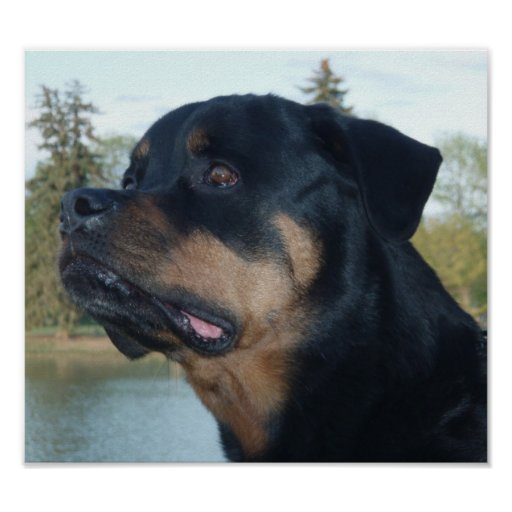 Beautiful Rottweiler Poster