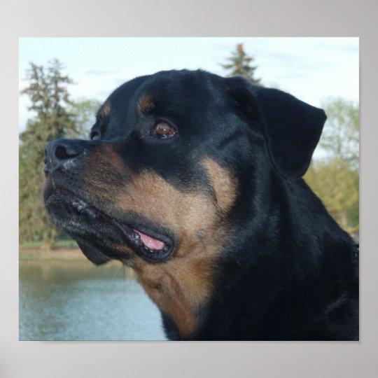 Beautiful Rottweiler Poster