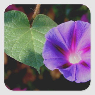 Beautiful Single Morning Glory Flower and Leaf Square Sticker