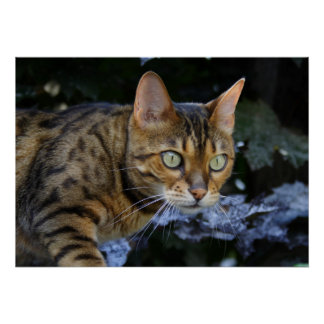 Beautiful Sneaking Bengal Cat Poster