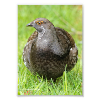 Beautiful Sooty Grouse in the Grass Photo Print