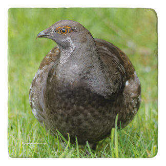Beautiful Sooty Grouse in the Grass Trivet