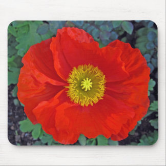 beautiful spring poppy in australia mousepads