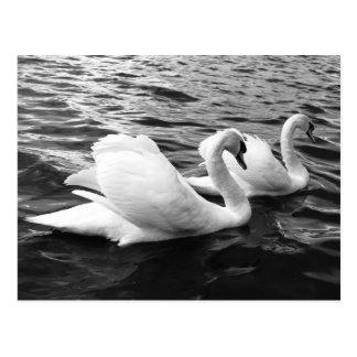 Beautiful swan couple in water postcard