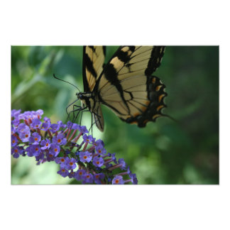 Beautiful Tiger Swallowtail Butterfly on Flower Photo Print