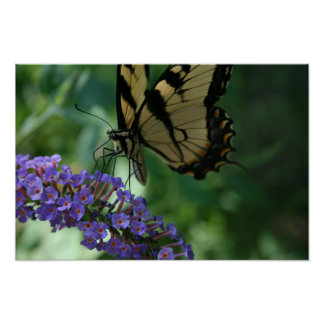 Beautiful Tiger Swallowtail Butterfly on Flower. Poster