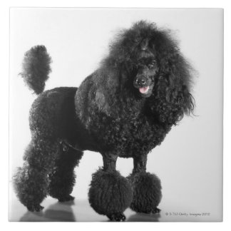 Beautiful, trimmed, black, complete poodle body tile