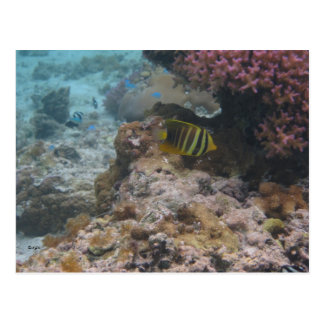 Beautiful Tropical Butterfly Fish Postcards
