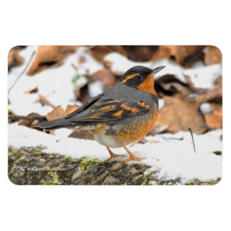 Beautiful Varied Thrush on the Snowy Ground Magnet