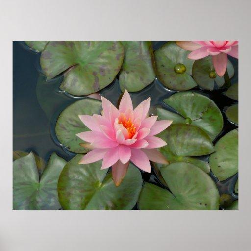beautiful water flower poster