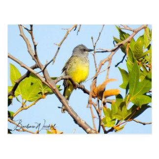 Beautiful Western Kingbird Postcard