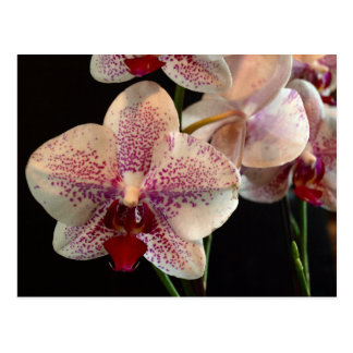 Beautiful White and Magenta Orchids Postcard