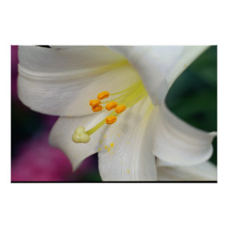 Beautiful White Lily Poster