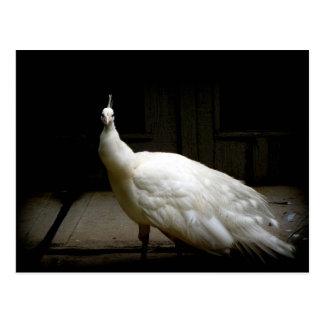 Beautiful White Peacock Postcard