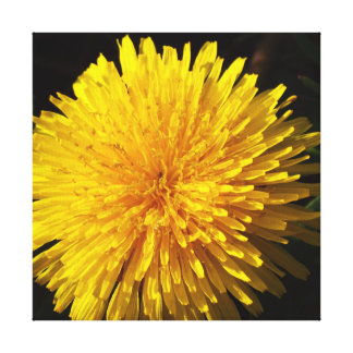 Beautiful Yellow Dandelion Canvas Print