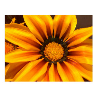 Beautiful Yellow Gazania Postcard