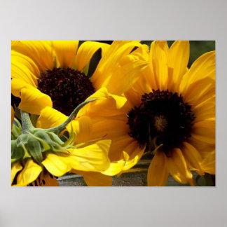 Beaux tournesols jaunes frais poster