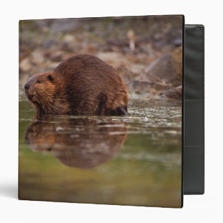 beaver, Castor canadensis, goes for a swim in 3 Ring Binders