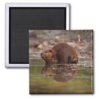 beaver, Castor canadensis, goes for a swim in Square Magnet