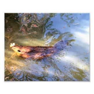 Beaver swimming photo art