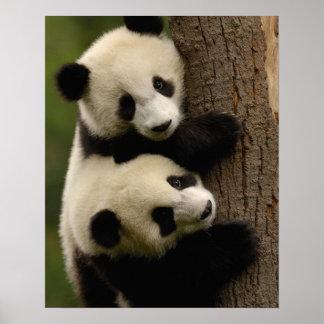 Bébés de panda géant (melanoleuca d'Ailuropoda) 2 Poster