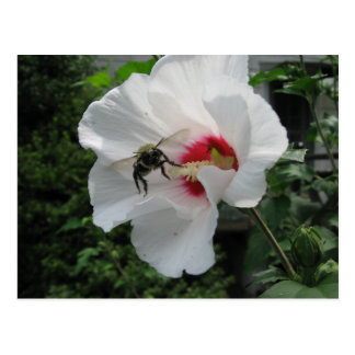 Bee and Rose of Sharon Postcard