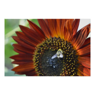 Bee on a Burnt Orange Sunflower 2 - Wings Spread Poster