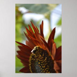 Bee on a Burnt Orange Sunflower Poster