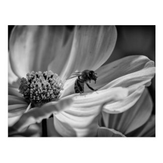 Bee on Cosmo Flower – Postcard