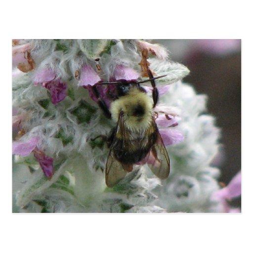 Bee on Lambs Ear Postcards