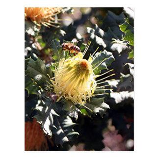 Bee on pale yellow Australian dryandra flower Postcard