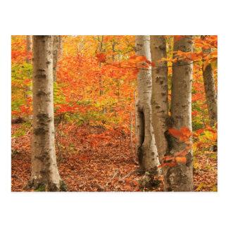 Beech Forest Cape Cod Autumn Mashpee Postcard