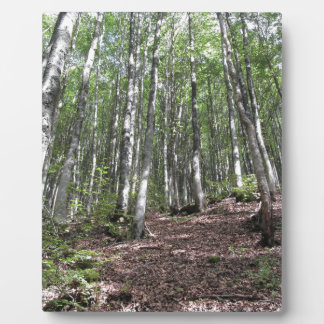 Beech forest landscape in summer . Tuscany, Italy Plaque