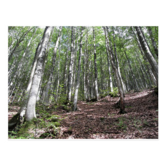 Beech forest landscape in summer . Tuscany, Italy Postcard