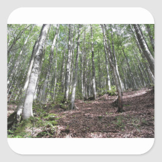 Beech forest landscape in summer . Tuscany, Italy Square Sticker