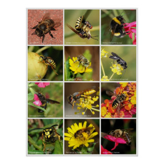Bees & Wasps Poster