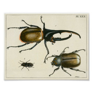 Beetles illustration print