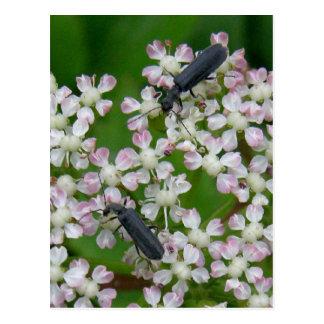 Beetles on Angelica Blossoms, Unalaska Island Postcard