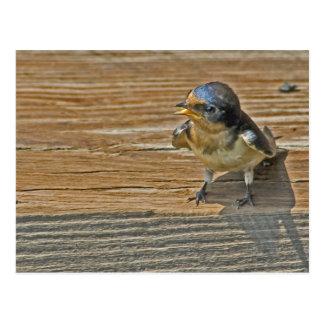 Begging Barn Swallow Postcard