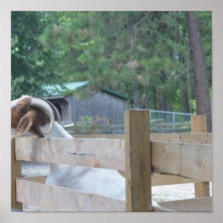 begging goat poster