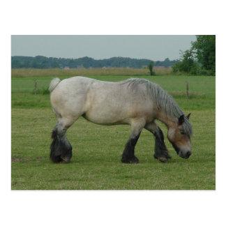 Belgian Draft Horse-color grey grazing Postcard