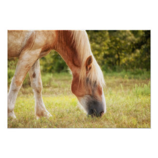 Belgian draft horse grazing in sun poster