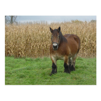 Belgian Draft Horse-in front of a corn field Postcard