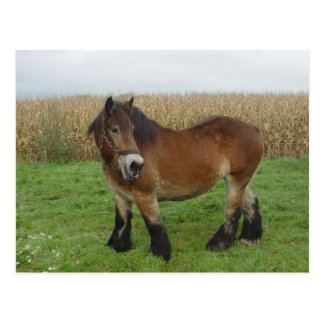Belgian Draft Horse-looking back Postcard