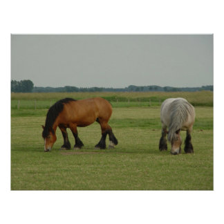 Belgian Draft Horse-one grey, one brown Poster